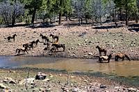 Wild horses in the river on the Kaibab Plateau, Arizona Trail, Arizona, U. S. A.