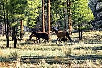 Wild horses on the Kaibab Plateau, Arizona Trail, Arizona, U. S. A.