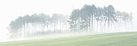Misty pine woodland at Abramova vilage, Slovakia.