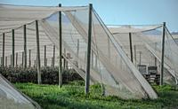 Rows and rows of blueberries protected from birds and sun by hectares of shadecloth.