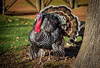 Proud Turkey in the farmyard. The earliest turkeys evolved in North America over 20 million years ago and they share a recent common ancestor with gro...