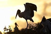 Wood storks (Mycteria americana) silhouetted at sunrise - Wakodahatchee Wetlands, Delray Beach, Florida, USA.