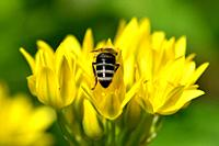 bee on yellow flower of magical herb moly.