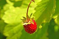 wild strawberry in summertime.