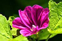 mallow, medicinal plant flower.