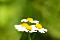 feverfew, medicinal plant with flower.