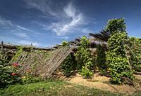 organic pepper farm peppercorn trees cultivation view in kampot cambodia.