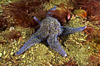 Common starfish (Asterias rubens) devouring Venus clam. Banded carpet shell (Venerupis rhomboideus). Eastern Atlantic. Galicia. Spain. Europe.