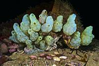 Ascidian. Tunicate. White sea-squirt (Phallusia mammillata). Eastern Atlantic. Galicia. Spain. Europe.