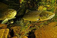 Freshwater Rivers. Atlantic Salmon (Salmo salar). Rio Esva. Asturias. Spain. Europe.