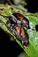 Japanese Beetles (Popillia japonica) mating - Asheville, North Carolina, USA.