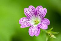 Close-up of a Geranium (Cranesbill) Flower - Asheville, North Carolina, USA.