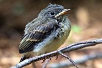 Eastern phoebe chick (Sayornis phoebe) - Brevard, North Carolina, USA.