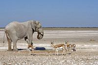 African bush elephant (Loxodonta africana), elephant bull drinking with standing springboks (Antidorcas marsupialis) at the waterhole, young African l...
