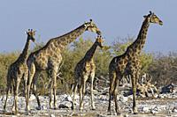 Namibian giraffes (Giraffa camelopardalis angolensis), herd with young male next to the waterhole in the evening sun, Etosha National Park, Namibia, A...