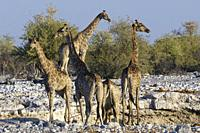 Namibian giraffes (Giraffa camelopardalis angolensis), herd with young at the waterhole in the evening sun, Etosha National Park, Namibia, Africa.