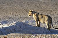 African lion (Panthera leo), young standing male on the lookout at the waterhole, in the morning light, Etosha National Park, Namibia, Africa.