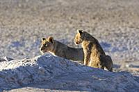 African lions (Panthera leo), two young males on the lookout at the waterhole, in the morning light, Etosha National Park, Namibia, Africa.