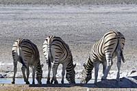 Burchell's zebras (Equus quagga burchellii), adults, drinking at the waterhole, Etosha National Park, Namibia, Africa.