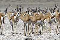Herd of springboks (Antidorcas marsupialis) standing at the waterhole, Etosha National Park, Namibia, Africa.
