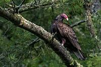 Turkey vulture (Cathartes aura) - Brevard, North Carolina, USA.