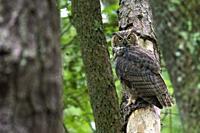 Great Horned Owl (Bubo virginianus) - Brevard, North Carolina, USA.