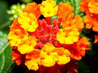 Spanish Flag or West Indian Lantana (Lantana Camara) flowers ornamental plant.