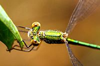 Emerald damselfly (Lestes sponsa) - Umbria, Italy.