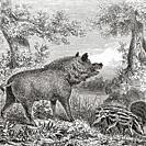 The wild boar (Sus scrofa), aka the wild swine, common wild pig, or wild pig. From Le Savant du Foyer ou Notions Scientifiques Sur Les Objets Usuels d...