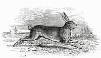 The Hare (Lepus timidus). From Le Savant du Foyer ou Notions Scientifiques Sur Les Objets Usuels de la Vie, published 1864.