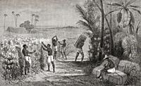 Slaves harvesting cotton in South America, 19th century. From Le Savant du Foyer ou Notions Scientifiques Sur Les Objets Usuels de la Vie, published 1...