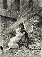 Fight between ermine and rat. Old 19th century engraved illustration from El Mundo Ilustrado 1880.