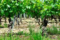'La cave de Geneve' wine region, vineyards in end of May, Chasselas white wine grape bushes, Russin, Geneva, canton Geneva, Switzerland, Europe