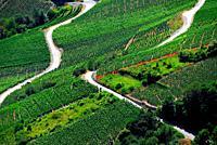 Vineyards on terraces, Rhone Valley, Fendant Wine Region near Sion, Bernese Alps, Valais canton , Wallis canton, Switzerland, Europe
