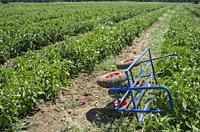 Harvest trolley over young tomatoes plantation furrows. Agricultural transport equipment.