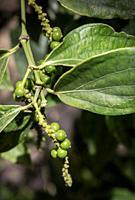 peppercorn pod close-up growing in organic pepper farm in kampot cambodia.