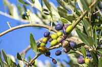 Tuscan olive tree, olives in various stages of ripening, soft focus background.