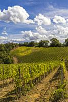 Tuscany's most famous vineyards near town Montalcino in Italy.