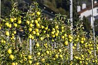 Apple orchard in Aica, South Tyrol, Italy.