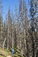 Monarch, Colorado - A woman hikes on a trail through a stand of trees on Monarch Mountain killed by the spruce bark beetle (Dendroctonus rufipennis). ...