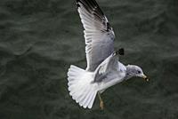 Ring-billed gull (Larus delawarensis) in flight. Ellis Island, New York City, U. S. A. , North America.
