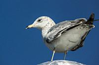 Ring-billed gull (Larus delawarensis) perched on a post. South Florida, U. S. A. , North America.