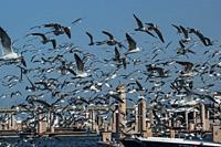 Flock of ring-billed gulls (Larus delawarensis) in flight. South Florida, U. S. A. , North America.
