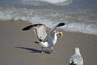 Ring-billed gulls (Larus delawarensis) foraging on the beach. South Florida, U. S. A. , North America.