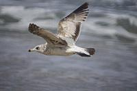 Ring-billed gull (Larus delawarensis) in flight over ocean. South Florida, U. S. A. , North America.