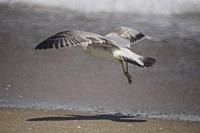 Ring-billed gull (Larus delawarensis) in flight, South Florida, U. S. A. , North America.