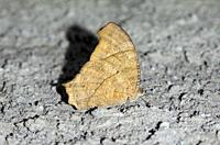 Dry season form of Common Evening Brown Butterfly (Melanitis leda), Klungkung, Bali, Indonesia.
