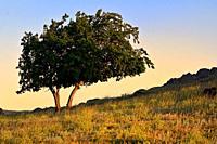 Single Oak tree in Macin mountains Romania at sunset.