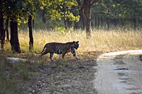 Tiger about to cross a road. Hysterical car chase, so-called tiger safari, in Bandhavgarh tiger reserve, India.