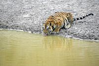 Tiger at a man made waterhole. Hysterical car chase, so-called tiger safari, in Bandhavgarh tiger reserve, India.